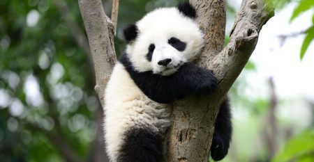 panda-research-6-27-18-2